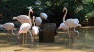flamingoes1